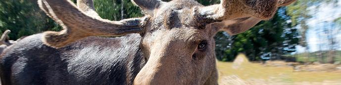 moose-banner